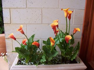 Orange_lillies_002